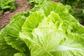 Nappa cabbage this is a picture of was taken in luzhou sichuan china Stock Photography