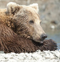 Napping bear Royalty Free Stock Images