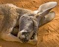 Napping Kangaroo Royalty Free Stock Photo