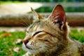 Napping tabby cat Royalty Free Stock Photo