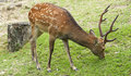 Nara Deer Stock Image