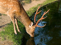 Nara deer drinking Stock Photography