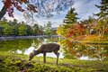 Nara deer grazes near todai ji temple in japan Royalty Free Stock Image