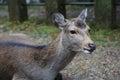 Nara deer roam free in nara park Stock Images