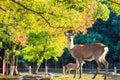 Nara deer roam free in nara park japan for adv or others purpose use Royalty Free Stock Image