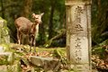 Nara deer roam free in park japan Royalty Free Stock Images