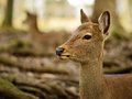 Nara deer roam free in park japan Stock Image