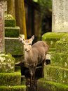 Nara deer roam free in park japan Royalty Free Stock Photography