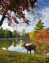Nara deer at todai ji temple grounds in japan Royalty Free Stock Photo