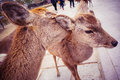 Nara deers encountered at park japan Royalty Free Stock Photo