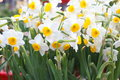 Narcissus close up shot of for decoration at home in chinese new year Royalty Free Stock Photos