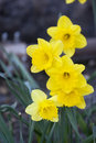 Narcissus close up of spring in nature Stock Photography
