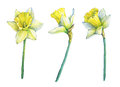 Narcissus common names daffodil, flowering plant with yellow flowers.