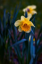 Narcissus daffodils spring time with selective focus at Stock Photography