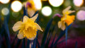 Narcissus daffodils spring time with selective focus at and bokeh background Royalty Free Stock Photos
