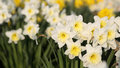 Narcissus details of a group of spring flowers the Stock Image