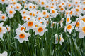 Narcissus a field of in full bloom Stock Image