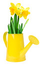 Narcissus flower arrangement in a yellow watering can over white background Royalty Free Stock Images