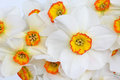Narcissus Flower Beauty Stock Photography