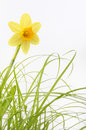 Narcissus flower in bloom Royalty Free Stock Photography