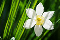 Narcissus flower and green grass Stock Photography