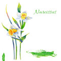 Narcissus flower, watercolor illustration isolated on white background, Vector hand drawn illustration, Floral design Royalty Free Stock Photo