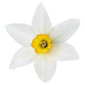 Narcissus flower on white Royalty Free Stock Photo