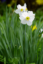 Narcissus flowers close up of in a garden spring saarland germany Royalty Free Stock Photos
