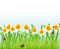 Narcissus flowers and grass Royalty Free Stock Images