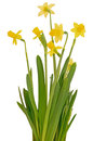 Narcissus flowers isolated white background Stock Photography