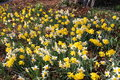 Narcissus flowers narcissus pseudonarcissus yellow and white also known as wild daffodil or lent lily in innsbruck austria its Royalty Free Stock Image