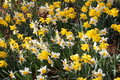 Narcissus flowers narcissus pseudonarcissus yellow and white also known as wild daffodil or lent lily in innsbruck austria its Royalty Free Stock Photos