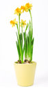 Narcissus flowers in pot isolated on white background Royalty Free Stock Photo