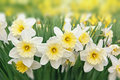 Narcissus flowers white and yellow Royalty Free Stock Photo