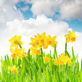 Narcissus in the fresh spring grass Stock Photography