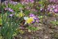 Narcissus in the garden and colorful flowers next to wall Stock Image