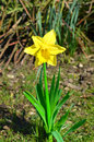 Narcissus golden lion Stock Afbeelding