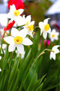 Narcissus poeticus in the garden Stock Image