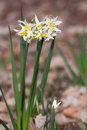 Narcissus poeticus white flowers of galanthus Royalty Free Stock Photography