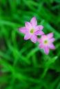 Narcissus from Putra Jaya Stock Photos