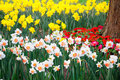 Narcissus spring blossom branches flower Royalty Free Stock Image