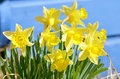 Narcissus spring lily in the sun Stock Photos