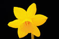 Narcissus tete a tete detail study of dwarf flower isolated on black Royalty Free Stock Photo