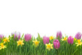 Narcissus and tulips flowers in green grass spring isolated on white background Stock Images