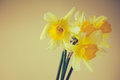 Narcissus yellow flowers studio shot Royalty Free Stock Photography