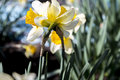 Narcissuses in a garden spring Stock Photography