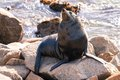 Narooma Seal Stock Photography
