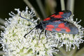 Narrow-bordered five-spot burnet moth Royalty Free Stock Image
