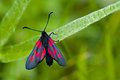 The Narrow-Bordered Five-Spot Burnet (Zygaena lonicerae) Stock Photos