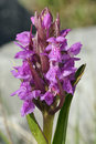 Narrow-leaved Marsh Orchid Stock Photo